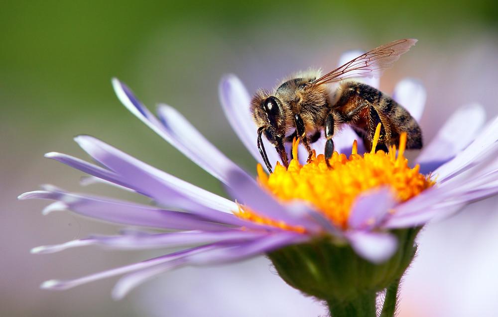 honey bee, infinitum health, reishi mushroom, ganoderma