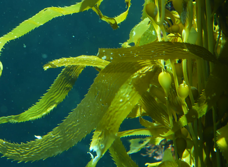 Seaweed (via Fucoidan) and Antitumor effect on Oral Cancers