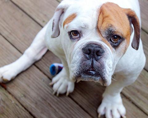 Adorable Amputee Bulldog