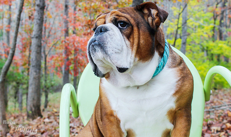 Handsome Rescued English Bulldog
