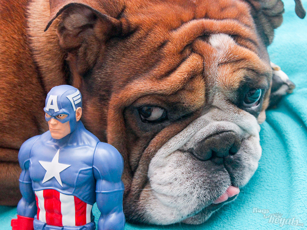 Rescued English Bulldog With Captain America Action Figure