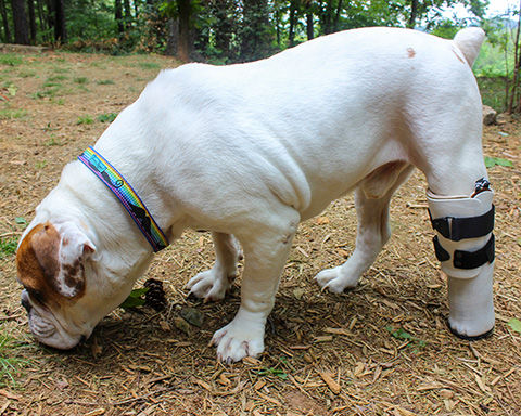 Bulldog With A Prosthetic Limb