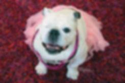Rescued One-eyed English Bulldog   Piper Stone The Painting Bulldog