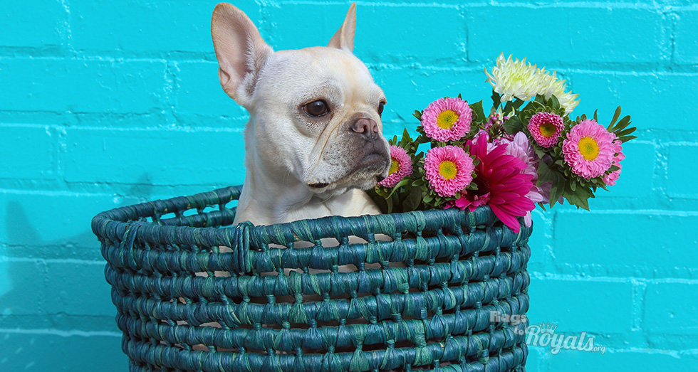 Adorable Rescued French Bulldog