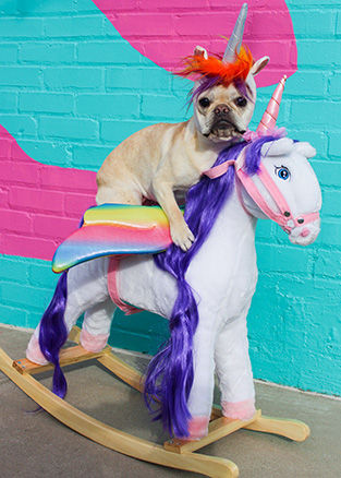 Licorne The Rescued French Bulldog | Magical Frenchicorn
