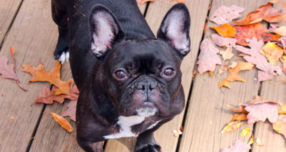Rescued French Bulldog | Adopt Don't Shop