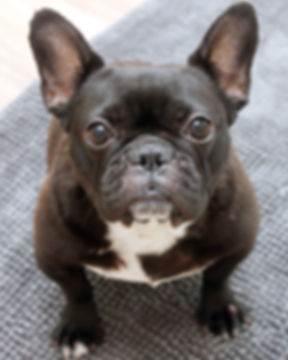 Rescued Breeding French Bulldog