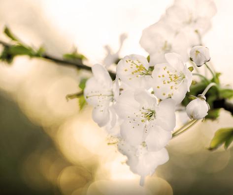 FLEUR D'ORANGER - La Fleur d'Oranger offre un parfum suave, frais et sensuel, qui vous enveloppe de lumière et de bien-être.