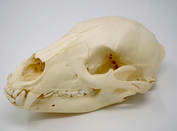 Bear Skull Decor