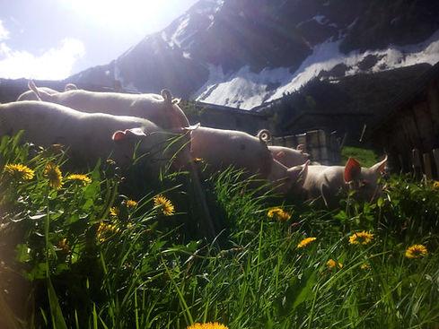 alpschweine7.jpeg
