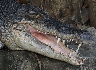 ALLIGATOR with teeth.png