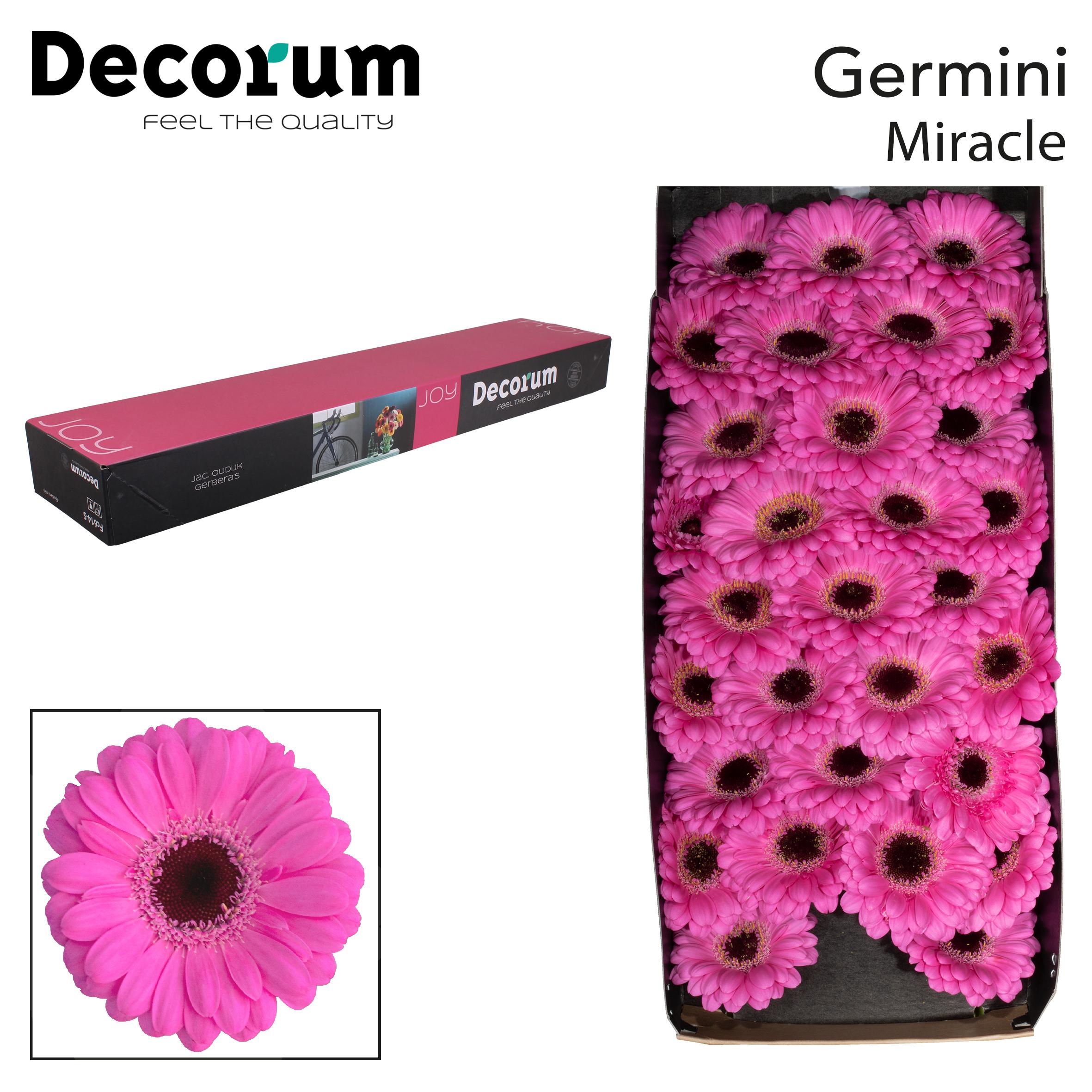 39. Miracle - doos-roze-zwartoog