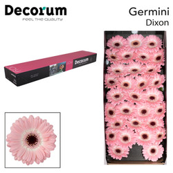 31. Dixon - doos-roze-zwartoog