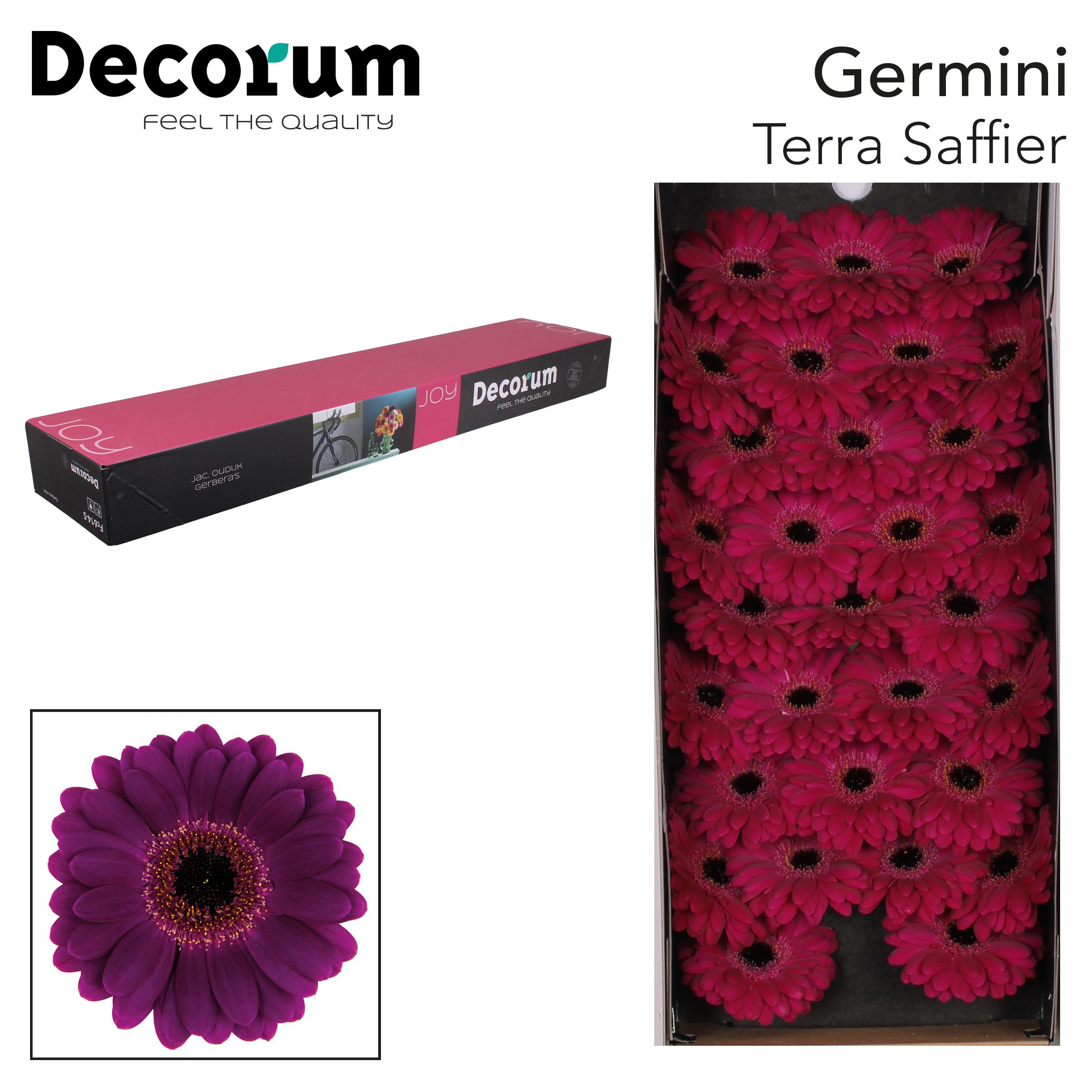 50. Terra Saffier - doos-paars-zwartoog.