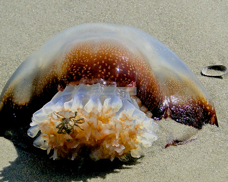 Jelly Fish with Crab