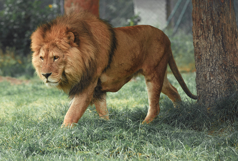 Leão andando na relva