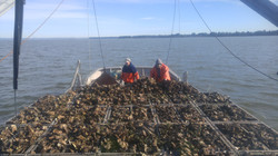 Dredge Load Oysters