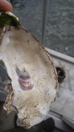 Oyster Spat