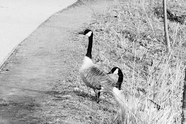 Canada Gooses, Boston
