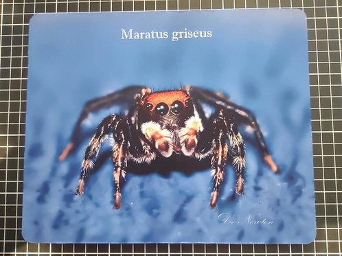 Maratus griseus Mouse Pad