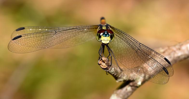 Dragonfly face landscape.jpg