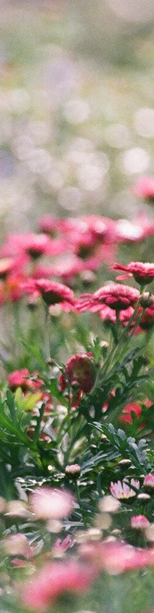 Campo Flores vermelhas rosas Estorias