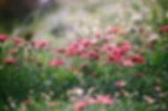 菊のフィールド