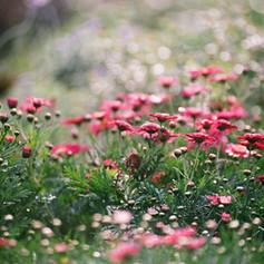 Field of Chrysanthemums