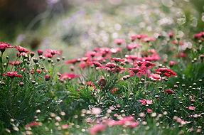 Gebiet der Chrysanthemen