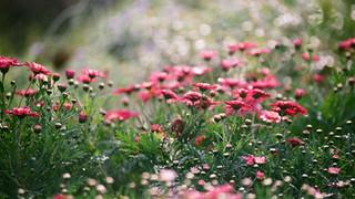 SH16 Field of Chrysanthemums