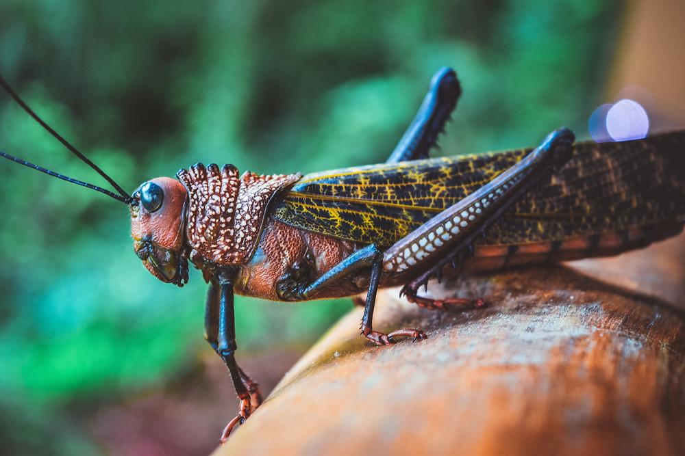 giant grasshopper costa rica