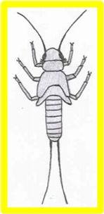 neumoridae.jpg