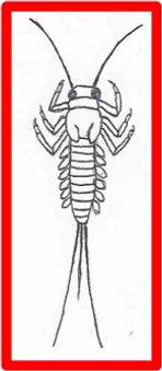 baetidae.jpg
