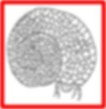 helicopsychidae.jpg