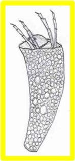 leptoceridae2.jpg
