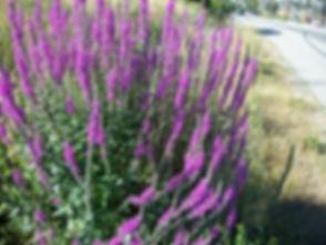Purple_loosestrife007_RMueller[1].jpg