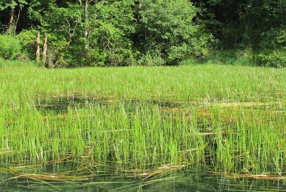 Eurasion Water Milfoil.jpg