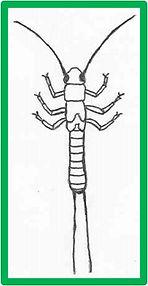 capniidae_leuctridae.jpg