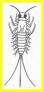 leptophlebiidae.jpg