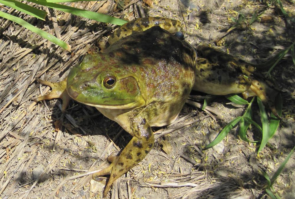 bullfrog-invasion[1].jpg