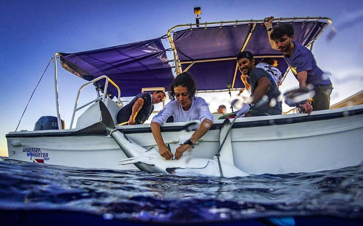 Field researchers from CREMA perform surgery on a male shark at Cocos Island.