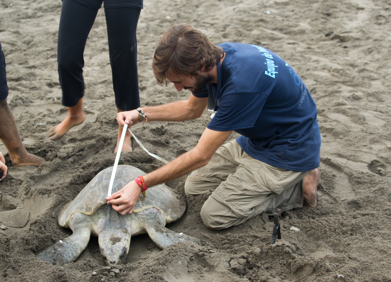 Field assistant from CREMA measures a nesting olive ridley sea turtle.