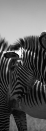 Zebras-0397.jpg