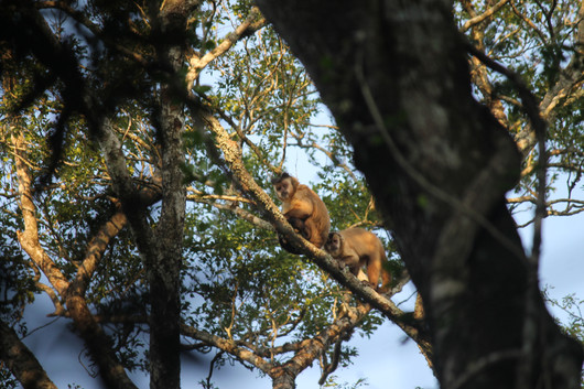 Hooded capuchins socializing in the Paraguayan Atlantic Forest.