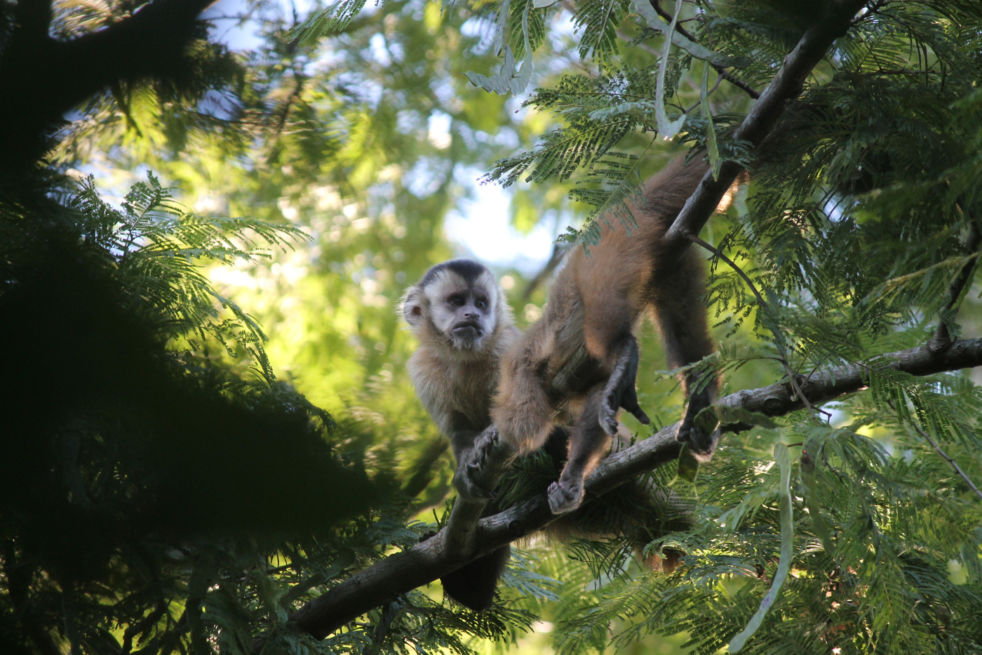 Subadult male hooded capuchin playing in Laguna Blanca's Atlantic Forest fragment, Paraguay.