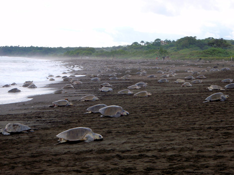 """Thousands of sea turtles nest simultaneously in events called """"arribadas"""" almost every month of the year at the Ostional National Wildlife Refuge."""