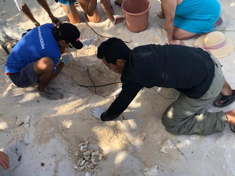 Hawksbill turtle nest exhumation in Utila.