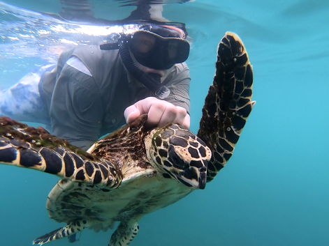 Field assistant from CREMA handling a critically endangered hawksbill sea turtle.