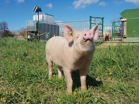 Du nouveau dans le bio ? (2/5) - Les élevages mobiles vont-ils se multiplier dans nos régions ?