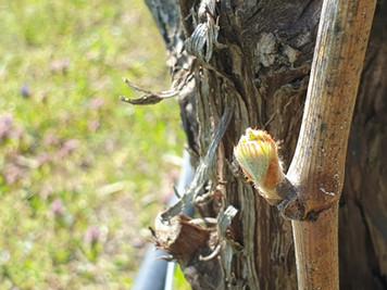 Erste Knospen im Chardonnay  Weinberg